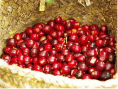 コーヒー 生豆 赤い実